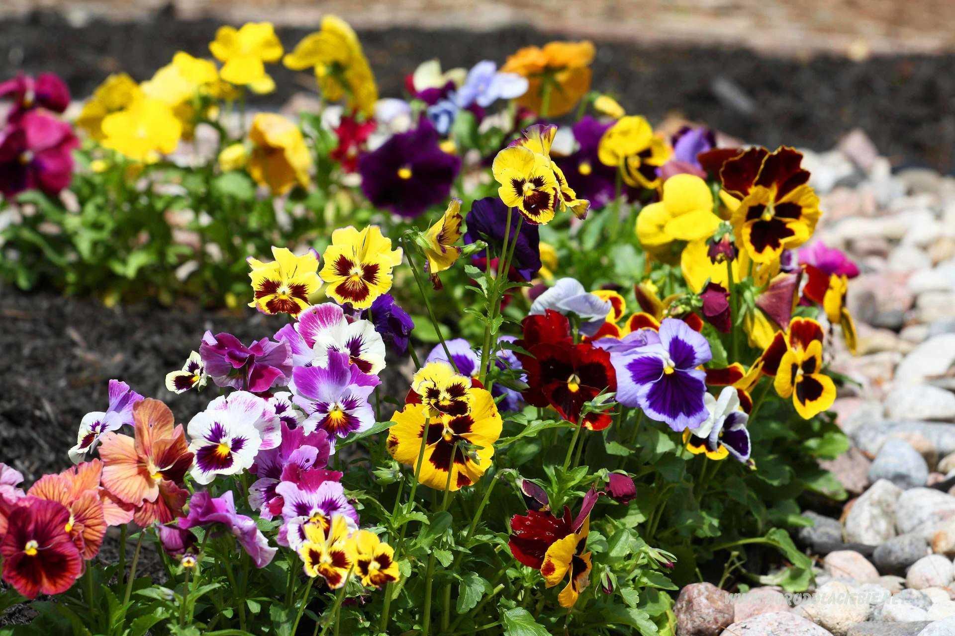 анютины глазки цветы фото клумбы снимки широко использовались