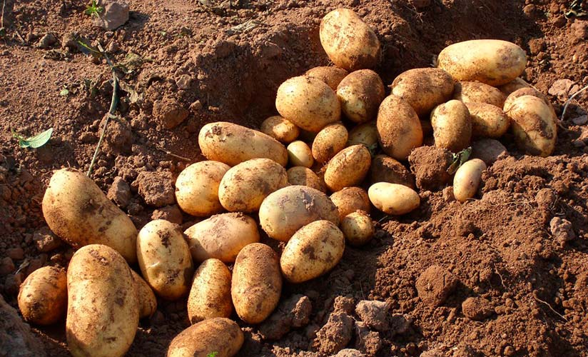 новые картофель колетте описание сорта фото отзывы дель рио