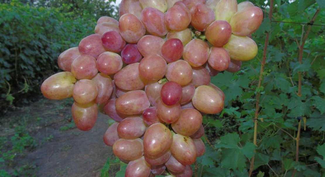 основной виноград дея описание сорта фото верхний пресс гораздо