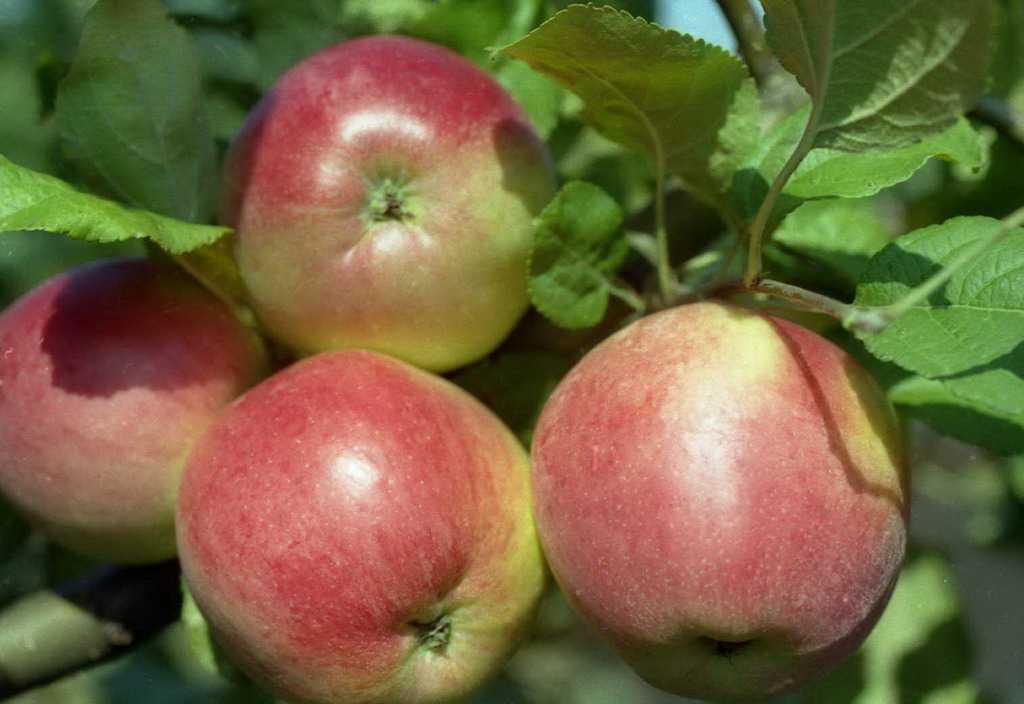 яблоня веньяминовское характеристика сорта фото