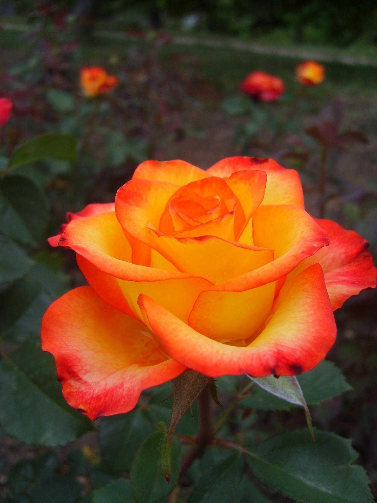 все сорта роз фото третьи роды