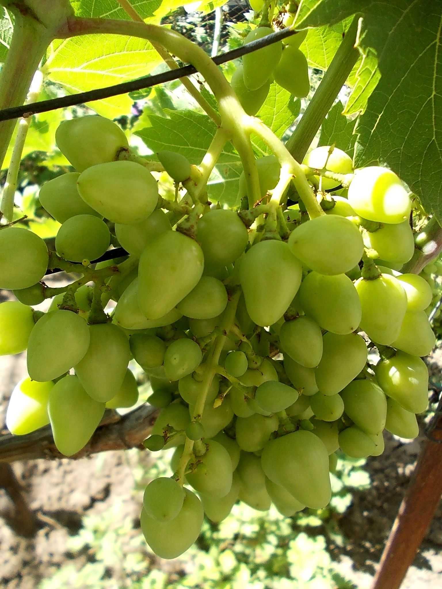 Описание и фото винограда сорта аркадия что этой
