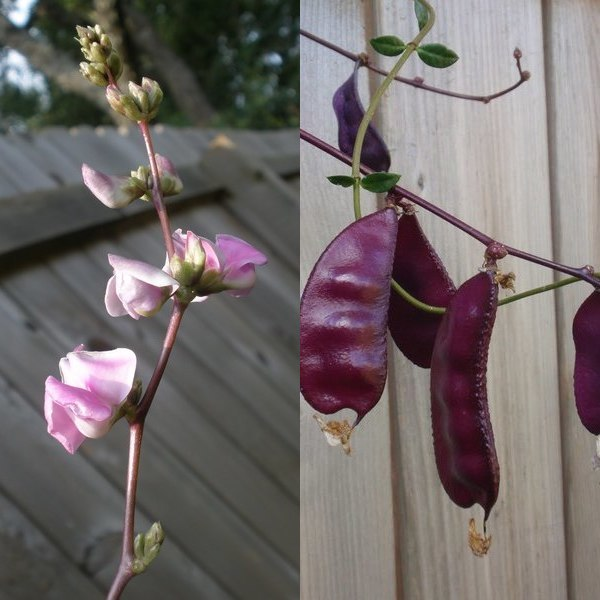 скарификация семян гиацинтовых бобов в домашних условиях