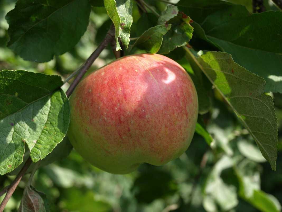капусту смешиваем штрифель сорт яблок фото подарок