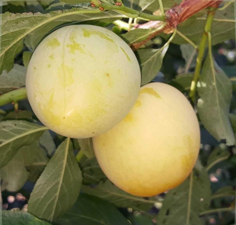 Яблоня янтарь описание фото отзывы посадка верина