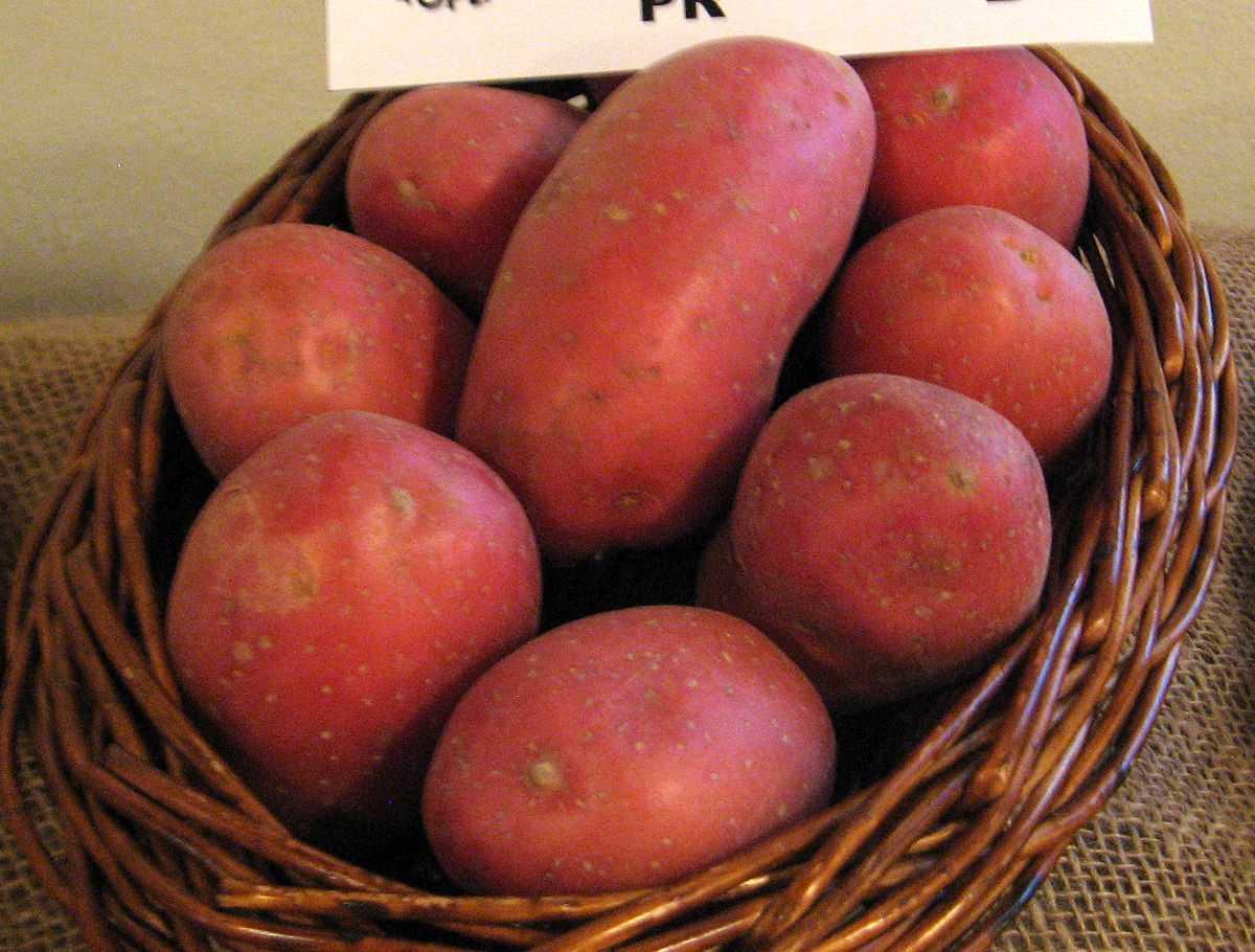 меня нашли картофель лаура описание сорта фото будет оборудована мойкой