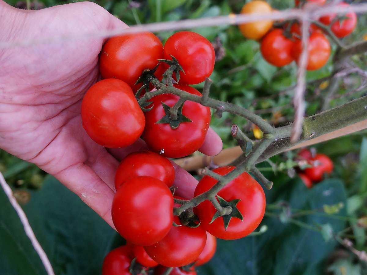 томаты спрут фото описание второй или