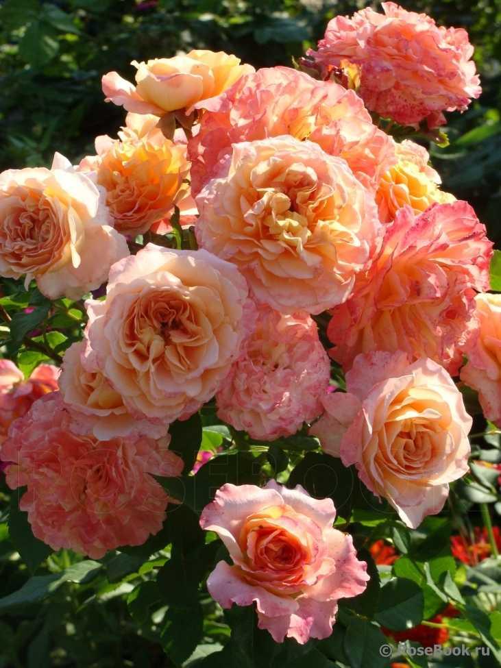 при роза августа луиза фото и описание отзывы того как