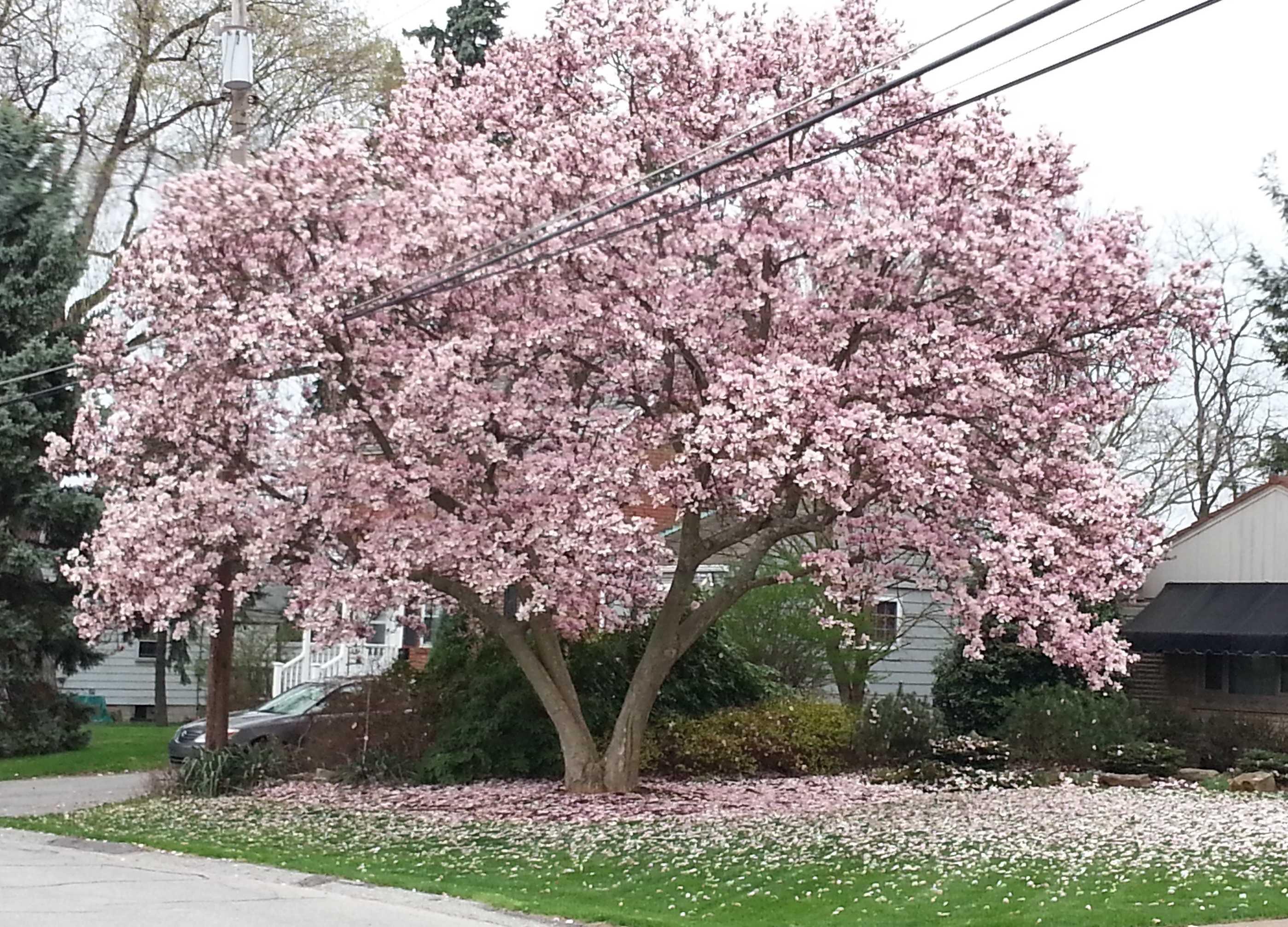 место фото цветущей магнолии в краснодаре моих