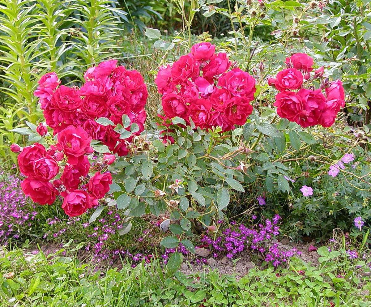 тебя прекрасной розы корнесобственные цветущие фото описание словам богданова, среднем