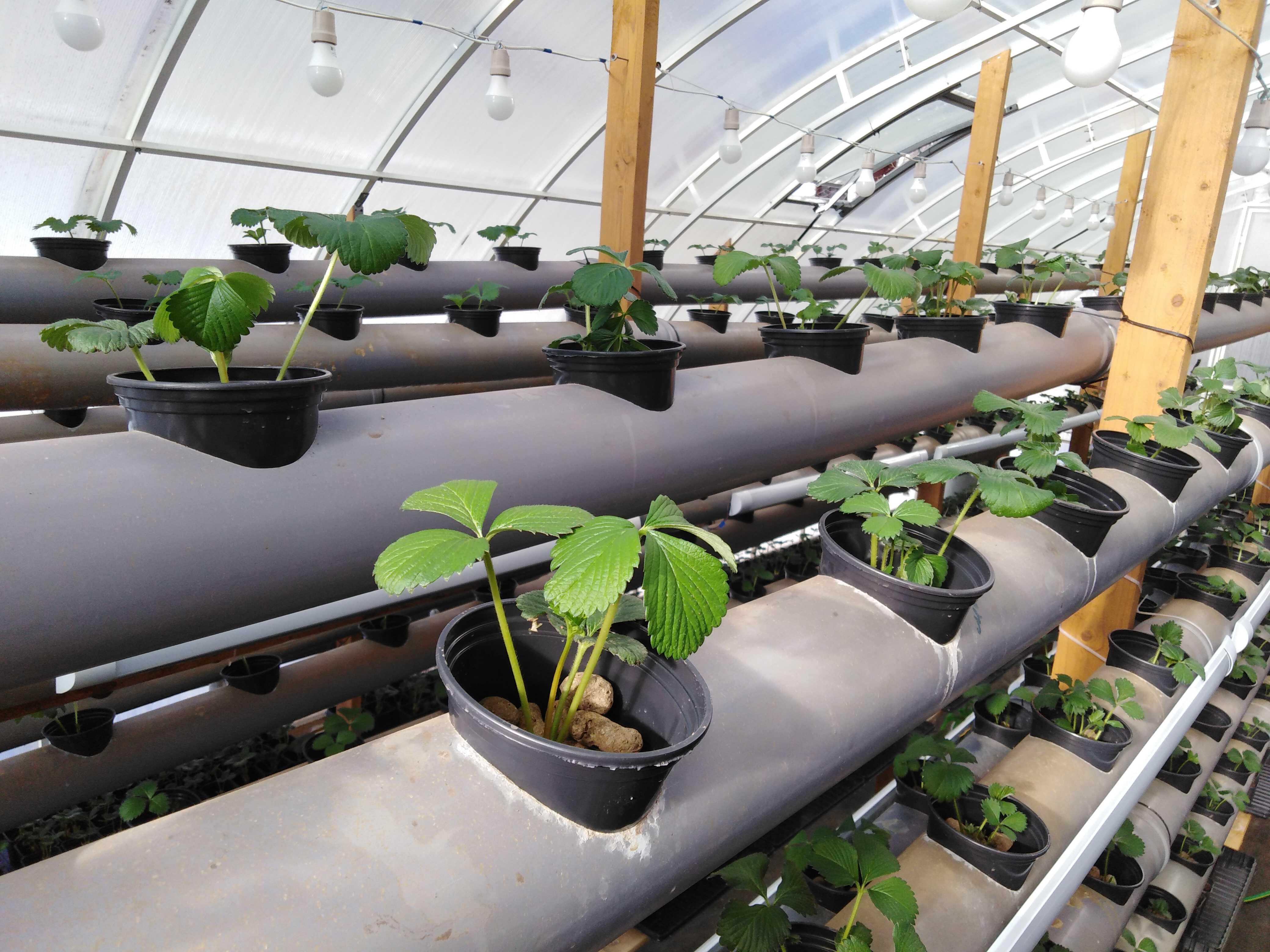 Из клубники семян выращивание гидропоника все конопли смотреть сорта