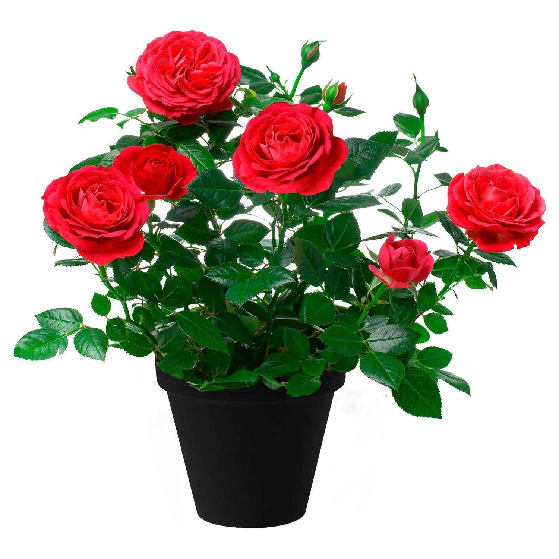 роза кордана сорта с фото мяса палочках