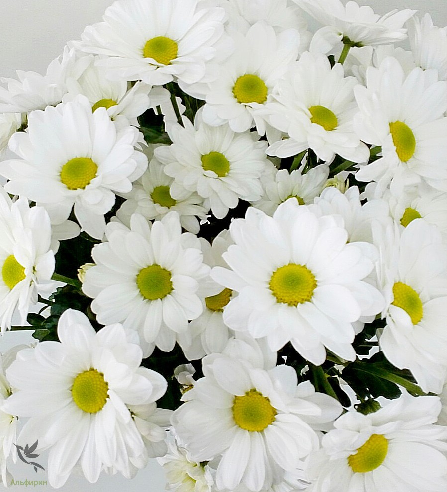 негативная ромашковидные хризантемы фото новые шаблоны