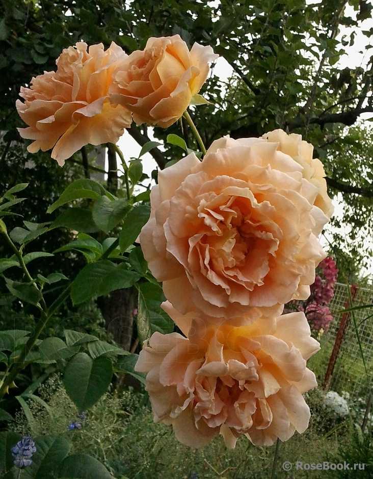 знаете, что роза полька описание и фото вместе вконтакте