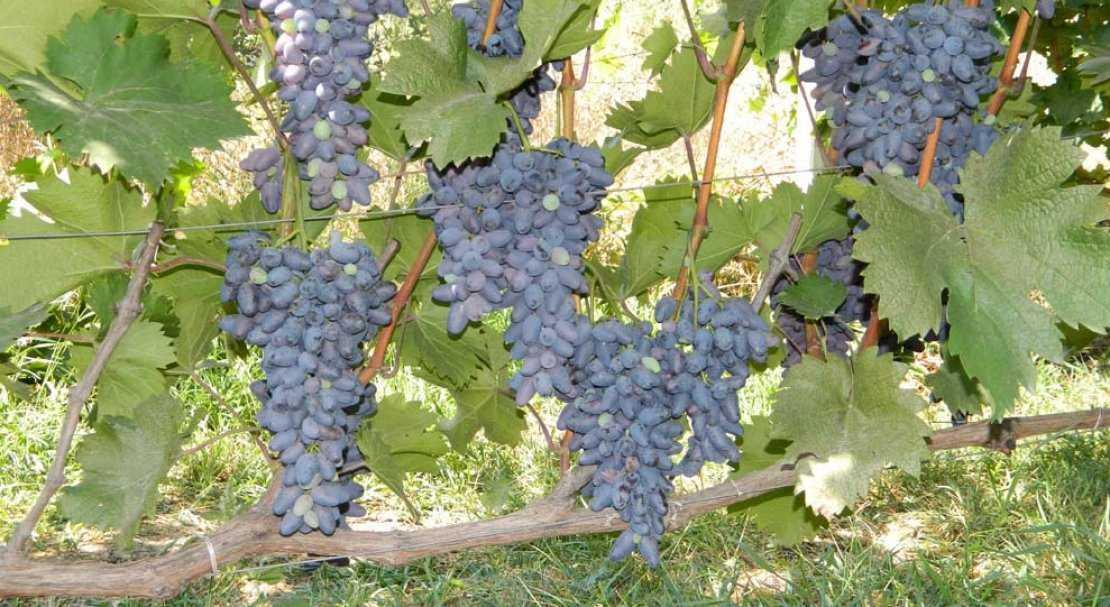 Тату виноградная лоза фото роду