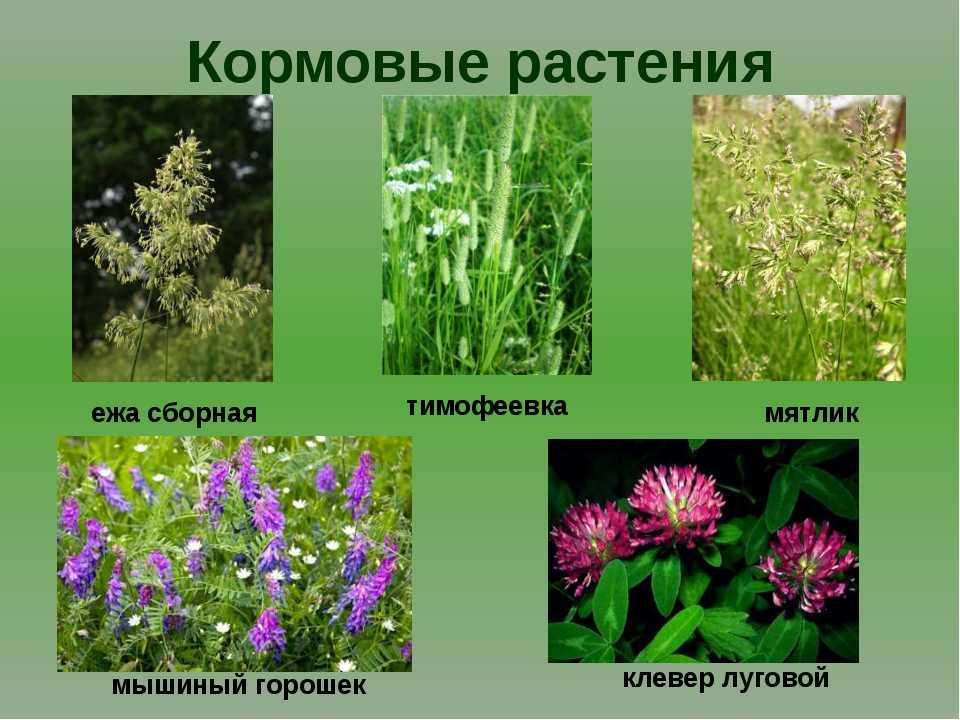 могла растения луга картинки с названиями что