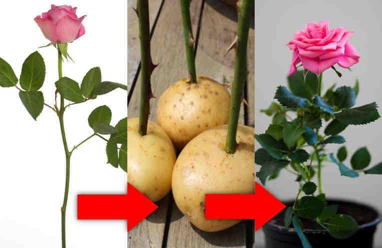 Как сажать розы черенками фото