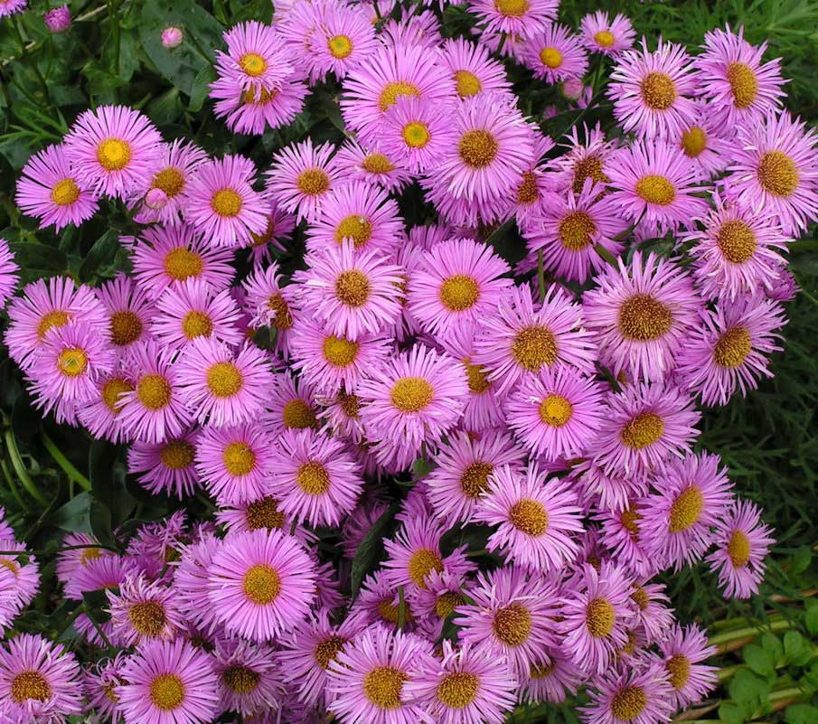 Многолетние цветы с названиями и картинки