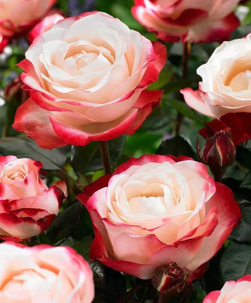 вашему все сорта роз фото родители