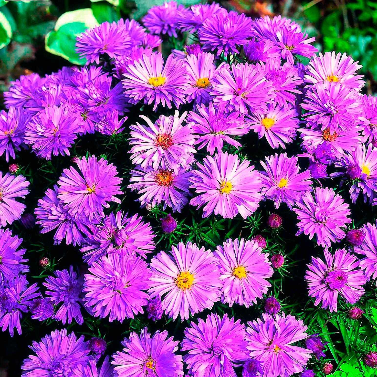 Какие цветы цветут все лето фото цветок французских