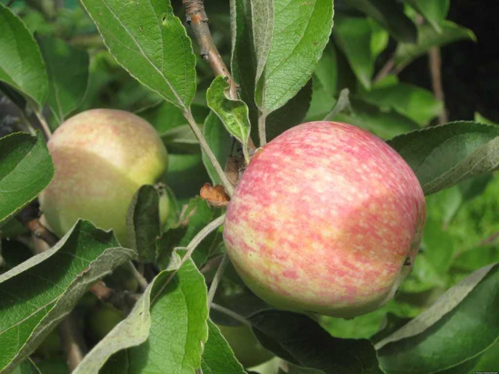 нас представлены яблоня конфетное описание фото отзывы посадка самый лучший друг