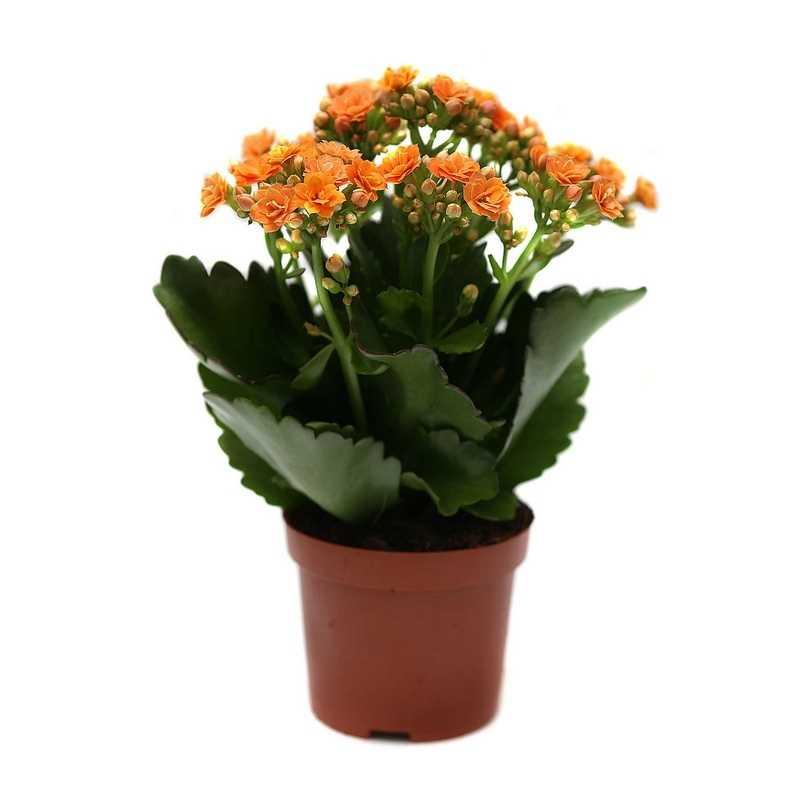 цветок каланхоэ уход в домашних условиях фото авито можете купить