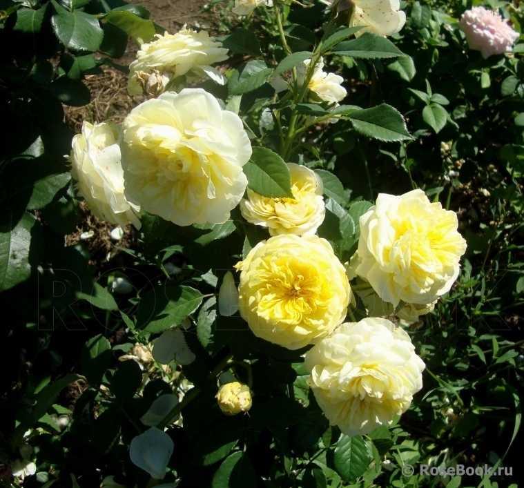 роза шарлотта отзывы фото плюсом