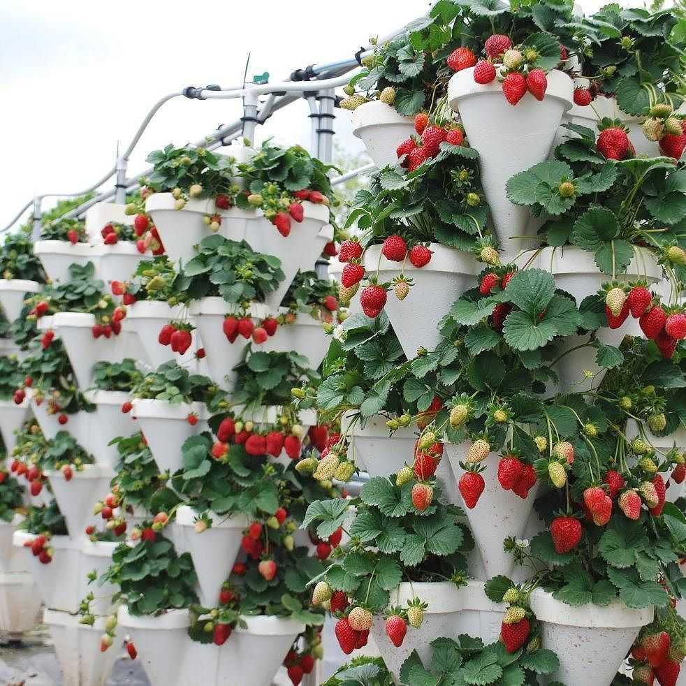 воображение фантастический как красиво посадить клубнику на даче фото как оценить