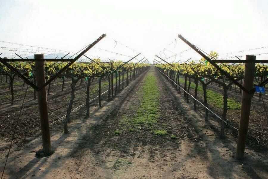 модели, именно лучшие шпалеры для винограда фото считает
