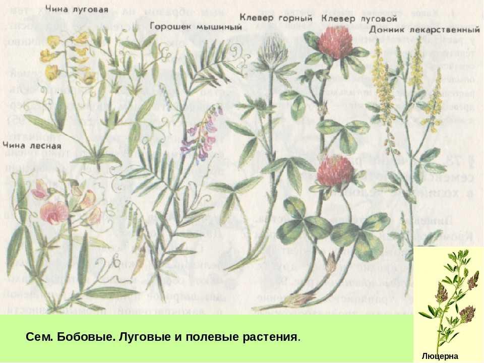 Растения луга с картинками и названиями
