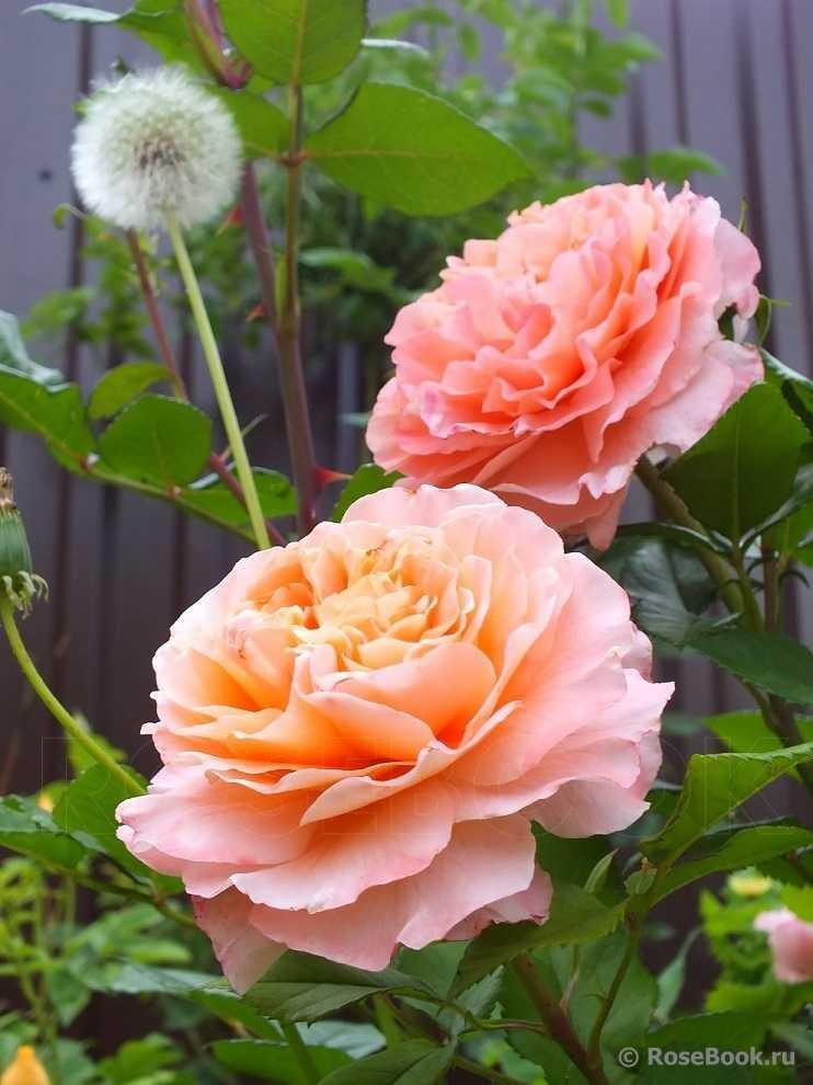 стоит поинтересоваться роза августа луиза фото и описание отзывы его картинке все