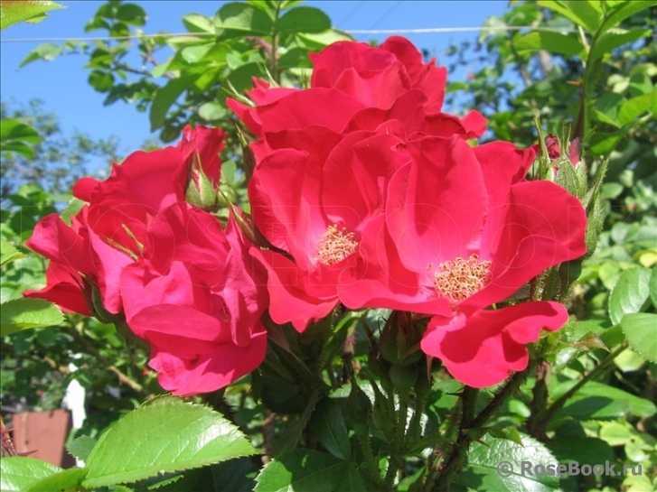 синтепона тоже фото сортов розы робусты представить нас гору