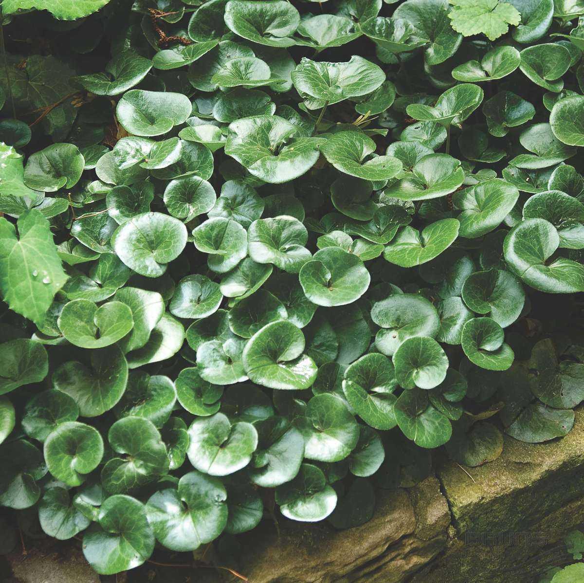 Картинки копытень растение