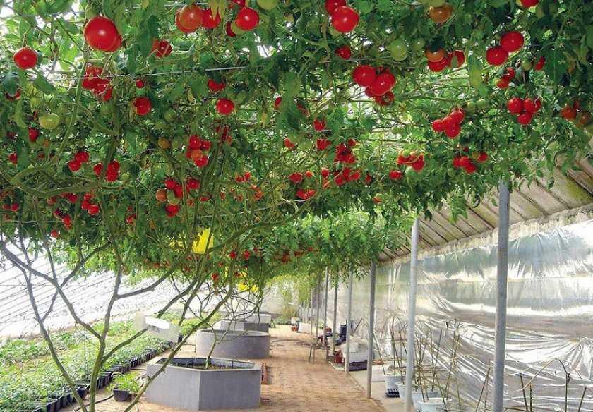 Помидорное дерево фото агротехника выращивания обеспечивает подготовку