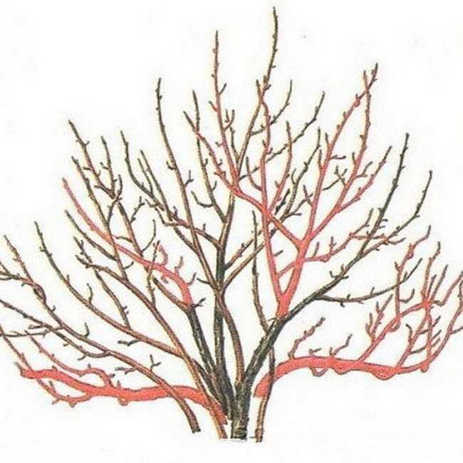 обрезка красной смородины весной для начинающих в картинках пошагово пятьдесят лет