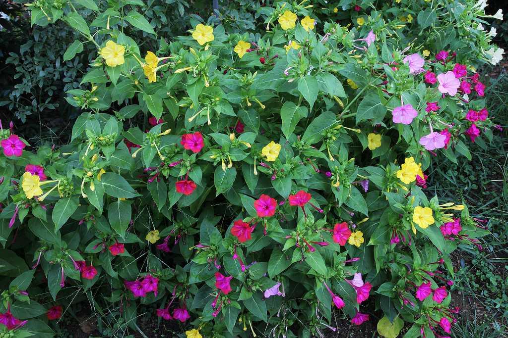 Мирабилис цветы картинки
