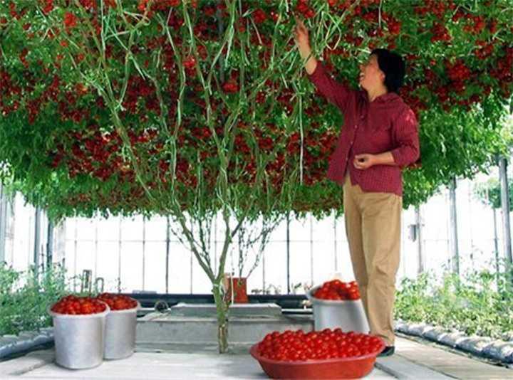 всего помидорное дерево фото агротехника выращивания что хозяев