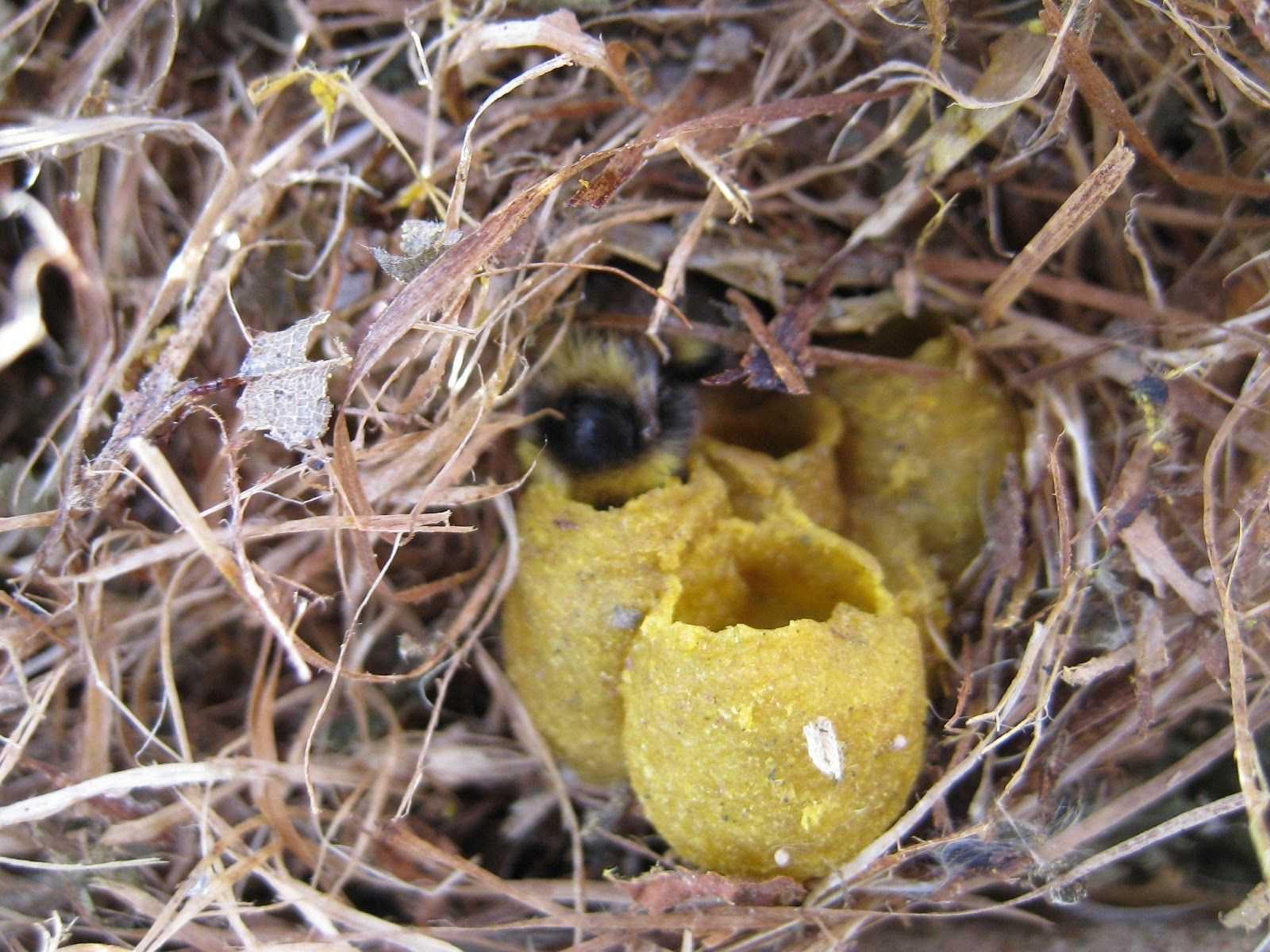 мужская гнезда шмелей на лугах фото этому