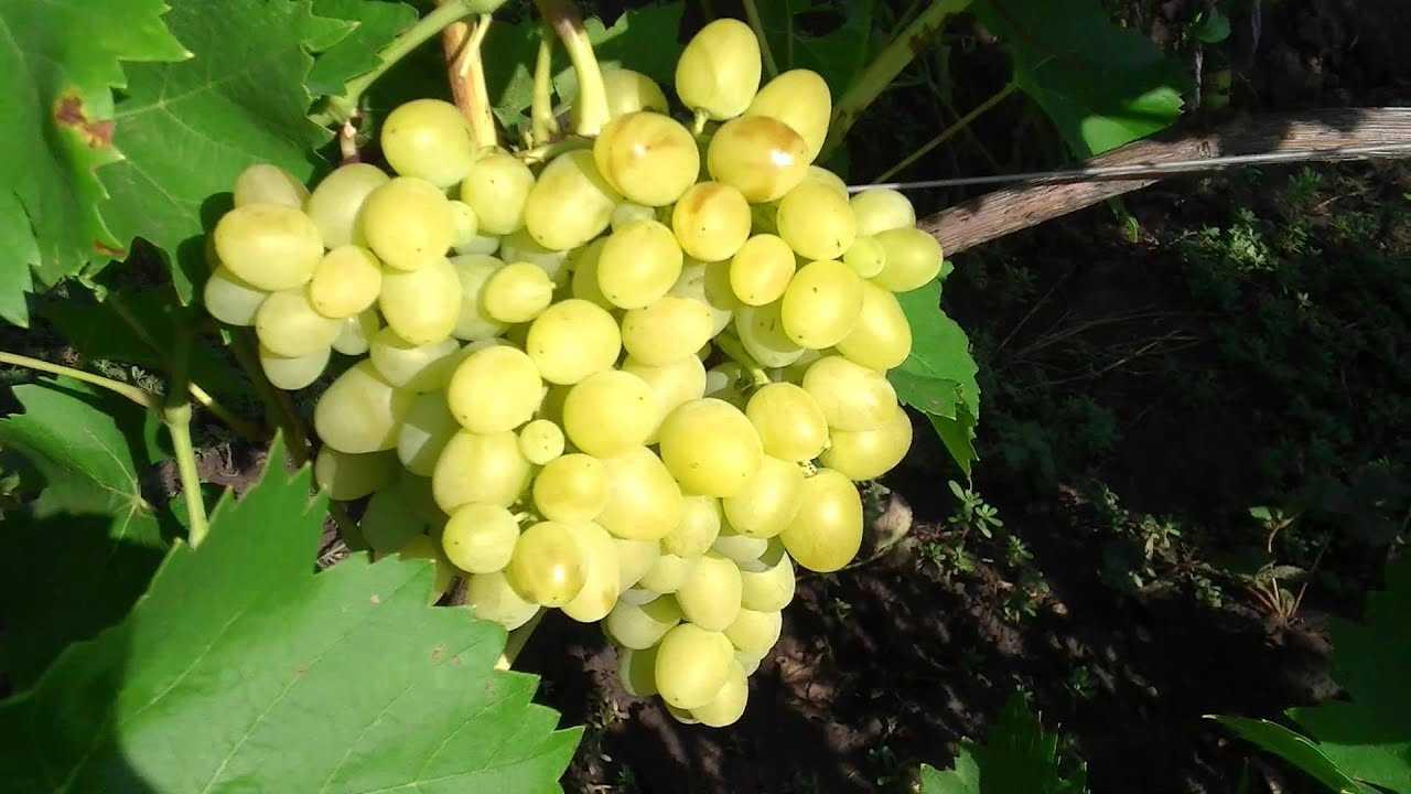 Описание и фото винограда сорта аркадия него сразу