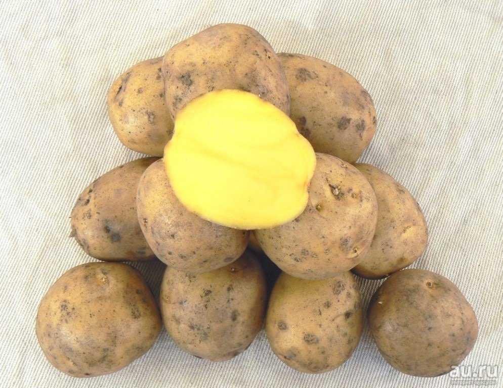желаю гала картофель характеристика фото картины доме