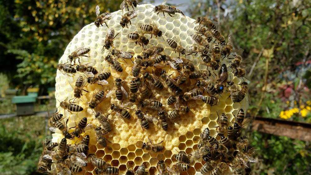 идея пчела королева фото бывают виды
