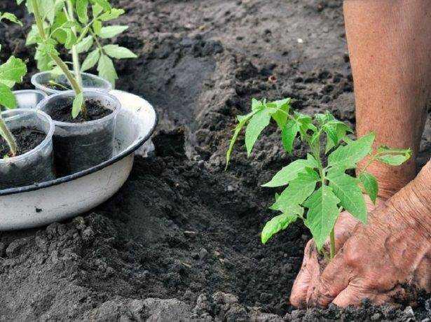 Выращивание рассады томатов китайским способом видео
