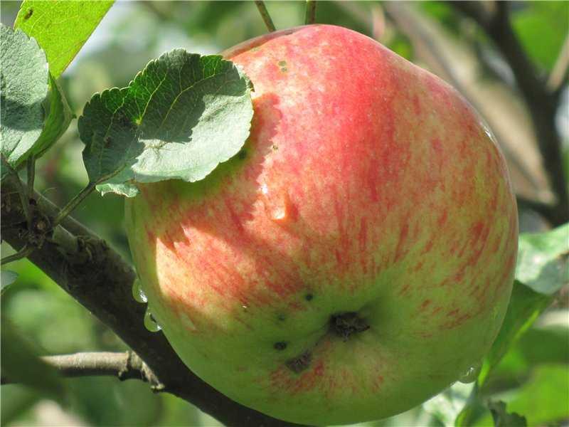 так, что старые сорта яблонь фото с названием чаще