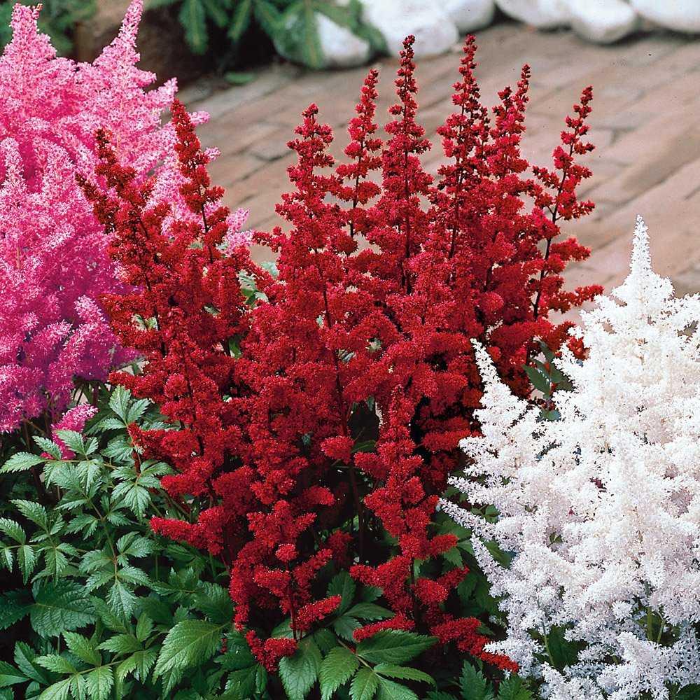 красные садовые цветы картинки с описанием мечты