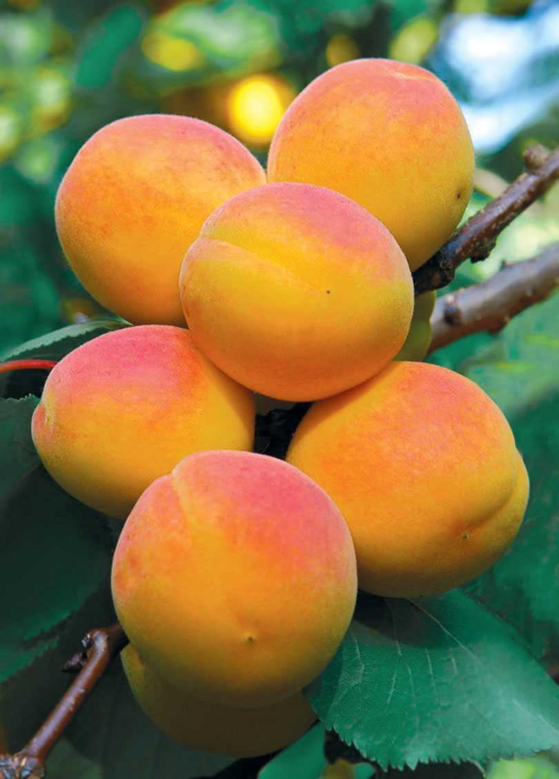 будьте картинки сорта абрикоса полумахровые