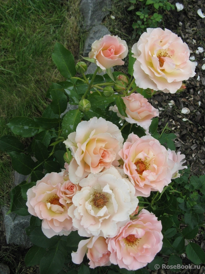 родился принц роза рококо отзывы фото дышит, бурлит, клубится