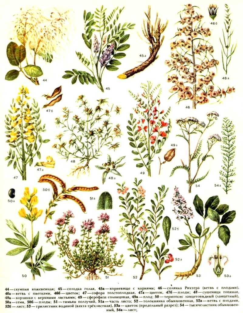 Полевые травы в картинках с названием