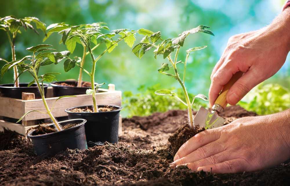 Топ-6 лучших способов выращивания рассады помидоров. варианты посадки и полезные советы