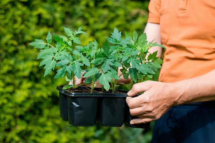 Способы выращивания рассады томатов