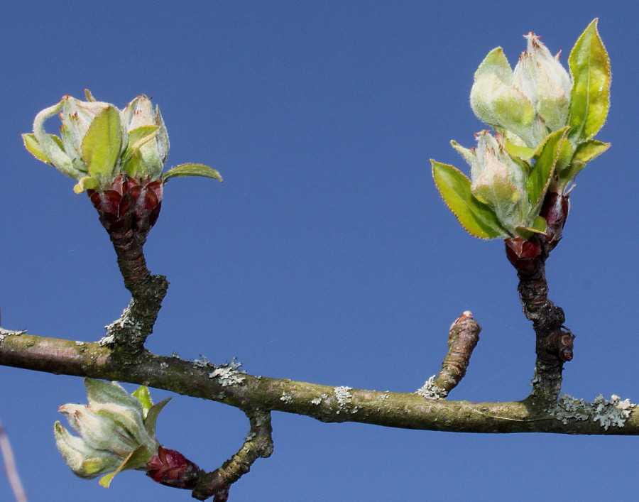 Яблоневая ветка картинки данную